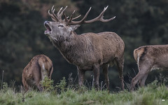 The Ring Master (David Hall DRH Photography) Tags: reddeercervuselaphus reddeer stag studleyroyal deerpark yorkshire animal countryside mammal antlers bbcspringwatch nature nikon outdoors springwatch wildlife world woodland