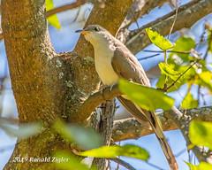 Yellow-billed Cuckoo IMG_7340 (ronzigler) Tags: yellowbilled cuckoo songbird bird watcher avian nature wildlife