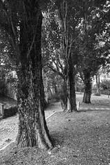 Three sisters (B&W) (lebre.jaime) Tags: portugal beira covilhã mountainbotanicalgarden trees leaves digital fullframe ff fx bw blackwhite nb noiretblanc pb pretobranco nikon d600 nikkorafs1735f28d affinity affinityphoto ptbw