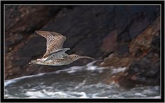 CURLEW (PHOTOGRAPHY STARTS WITH P.H.) Tags: wembury south devon nikon teleconverter 17 d500 300mm 28 g ii curlew