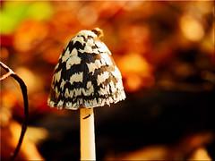 Autumn time is mushroom time (Ostseetroll) Tags: deu deutschland geo:lat=5418083628 geo:lon=1063104188 geotagged schleswigholstein sielbeck ukleisee herbst autumn pilz mushroom makroaufnahme macroshot olympus em10markii