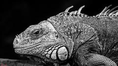 Reptile - 7577 (✵ΨᗩSᗰIᘉᗴ HᗴᘉS✵84 000 000 THXS) Tags: reptile animal pairidaiza blackandwhite monochrome yasminehens belgium europa aaa namuroise look photo friends be interest eu fr party greatphotographers lanamuroise flickering