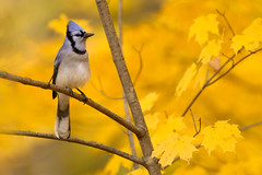 Blue Jay on Sugar Maple (www.studebakerstudio.com) Tags: blue jay sugar maple bluejay fall autumn ohio