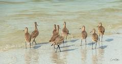 The Godwits are  leaving (Carol Matthai Photography) Tags: bowditchbeach shorebirds blackskimmer semipalmatedplover sandwichterns marbledgodwit brownpelican
