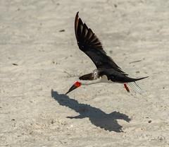 Skimmer me and my shadow (Carol Matthai Photography) Tags: bowditchbeach shorebirds blackskimmer semipalmatedplover sandwichterns marbledgodwit brownpelican