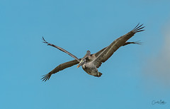 Brown Pelican two flying as one (Carol Matthai Photography) Tags: bowditchbeach shorebirds blackskimmer semipalmatedplover sandwichterns marbledgodwit brownpelican