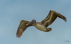 Brown Pelican overhead (Carol Matthai Photography) Tags: bowditchbeach shorebirds blackskimmer semipalmatedplover sandwichterns marbledgodwit brownpelican