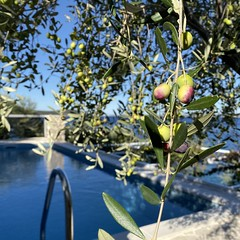 olives everywhere (mennyj) Tags: vacation travel croatia maslinica split germany munich fall 2019 mobile iphone iphone11 europe international swim swimming pool olive trees view adriatic sea dalmation coast blue water airbnb