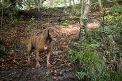 'Scooby' (Taken By Me Photography) Tags: walk woods woodland lancashire lancs brockbottom nikon north takenbyme takenbymephotography wwwtakenbymephotographycouk dog boy k9 outside outdoors countryside country