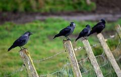 Crows, Braemar (Neilhooting) Tags: scotland cairngorms braemar ballater aberdeen caledoniansleeper riverdee