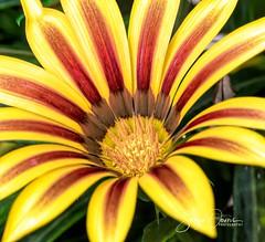 TREASURE FLOWER, MIDDAGGOUD (Sonja Ooms) Tags: bay garden gardens gardensbythebay gazania gazaniarigens geel greenhouse jardins macro middaggoud nature plantentuin rigens serre singapore treasureflower tuin yellow