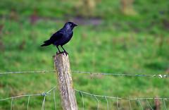 Crow, Braemar (Neilhooting) Tags: scotland cairngorms braemar ballater aberdeen caledoniansleeper riverdee