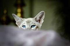 Lyekka (Madr@t) Tags: lyekka bluetabbypointsiamese siamese siamesecat canonefs60mmf28macrousm lens00025