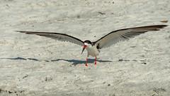 Skimmer sand-gliding-4 (Carol Matthai Photography) Tags: bowditchbeach shorebirds blackskimmer semipalmatedplover sandwichterns marbledgodwit brownpelican