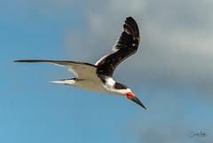 Skimmer in flight-3 (Carol Matthai Photography) Tags: bowditchbeach shorebirds blackskimmer semipalmatedplover sandwichterns marbledgodwit brownpelican