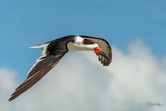 Skimmer in flight-2 (Carol Matthai Photography) Tags: bowditchbeach shorebirds blackskimmer semipalmatedplover sandwichterns marbledgodwit brownpelican