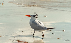 Old man by the shore (Carol Matthai Photography) Tags: bowditchbeach shorebirds blackskimmer semipalmatedplover sandwichterns marbledgodwit brownpelican