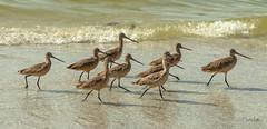Marbled Godwits-3 (Carol Matthai Photography) Tags: bowditchbeach shorebirds blackskimmer semipalmatedplover sandwichterns marbledgodwit brownpelican