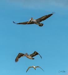 Brown Pelican stacked (Carol Matthai Photography) Tags: bowditchbeach shorebirds blackskimmer semipalmatedplover sandwichterns marbledgodwit brownpelican