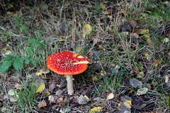 Fly agaric (Davydutchy) Tags: amanita muscaria fly agaric mouche toadstool mushroom paddestoel létat agaricky houba champignon pilz zwam zwammen october 2019