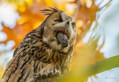 Das Wetter ist zum.... (normen.nikon) Tags: d4 nikon 200500 berlebach manfrotto natur bird owl eule vogel wildlife herbst