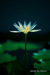 White Water Lily (e.nhan) Tags: flower flora floral blossom bloom blooming waterlily white dof macro bokeh petals yellow water nature natural