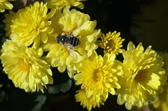 Yellow Mums and Visitor (shelly.morgan50 (mostly off)) Tags: chrysanthemums flowerphotography mums garden flowers yellow colorful closeup dronefly fly insect macro bokeh nature shellymorgan50 panasoniclumixdczs200 midwest bright sunshine light sunny details usa flower autumn fall
