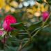 Pretty Rosebush