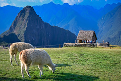 Alpacas at Machu Picchu Peru with Huayna Picchu Mountain (mbell1975) Tags: machupicchu cuscoregión peru alpacas machu picchu perú peruvian pikchu inca inka citadel estung fort fortress burg castillo kasteel borg château citadelle castelo fortaleza alpaca llama llamas animal huayna mountain mountains urubamba valley cordillera unesco whs world heritage site worldheritagesite newsevenwondersoftheworld new seven wonders 7