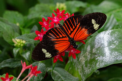 Postman in a greenhouse (Stephen G Nelson) Tags: insect butterfly postman heliconius botanicalgarden tucson arizona canoneosrebelsl1100d
