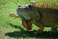 Quiet but not quiet enough... Iguana stepping off! (jungle mama) Tags: iguana step otto orange foot armor scale fairchildtropicalbotanicgarden fairchildgarden susanfordcollins
