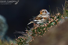 Snow Bunting (Plectrophenax nivalis) (gcampbellphoto) Tags: snow bunting migration migrant bird winter north antrim ballycastle northern ireland gcampbellphotocouk plectrophenax nivalis animal outdoor