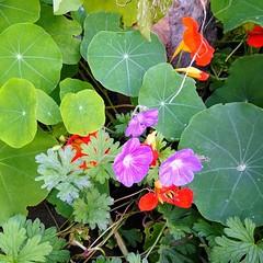 Neon with Greenery (vw4y) Tags: craneflower oldenglishgeranium purple nasturtiums leaves foliage green contrast inthegarden