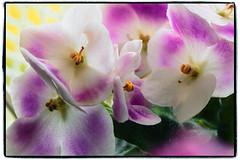 Optimara noN - African violet (Adam Nowak) Tags: petals violets color flowers leaves buds hair saintpaulia africa