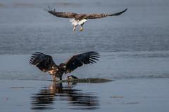 Nur Einer gewinnt (cfowallburg) Tags: whitetailedeagle19 seeadler adler haliaeetusalbicilla greifvögel smöla 202019 eagle insel norwegen
