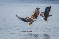 Streit um den letzten Happen (cfowallburg) Tags: whitetailedeagle19 seeadler adler haliaeetusalbicilla greifvögel smöla 202019 eagle insel norwegen