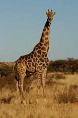 Big Bull Giraffe (DeniseKImages) Tags: wildlife africa giraffe southafrica nature wild animal animals wildanimals wildanimal