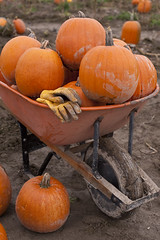 Wheelbarrow in pumpkin patch full of pumpkins (Jim Corwin's PhotoStream) Tags: halloween october nw pacificnorthwest northamerica agriculture autumn holiday fall field countryside afternoon farming group harvest landmark gloves gourd jackolanterns customs plant look pumpkin outdoors photography looking mud northwest pick pastoral muddy mothernature picking largegroup localattractions travel tourism vertical rural pumpkins seasonal scenic tourist rows tradition wheelbarrow ruralscene