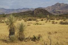 Soaptree Yuccas before the Galiuros (Lon&Queta) Tags: 2017 arizona desert gps galiuromountains grahamcounty landscapes mountains sanpedrorivervalley soaptreeyuccayuccaelatapalmilla succulents usa yuccas unitedstatesofamerica