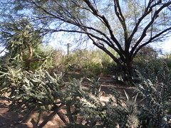 A desert scene (Philosopher Queen) Tags: desert garden botanical phoenix arizona trees plants grasses cacti