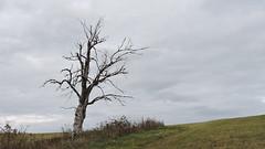 2019-10-19 Tree (beranekp) Tags: germany deutschland sachsen saxony erzgebirge krušné hory schellerhau tree baum nature