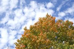 Autumn Colors With Clouds (Modkuse) Tags: autumn autumnleaves color colorful fall fallcolors fallcolor nature natural clouds cloudy cloudyday tree treescape art artphotography artistic artisticphotography photoart natureart sooc straightoutofcamera nopostprocessing fujifilm fujifilmxt2 fujinon fujinonxf50mmf2rwr xf50mmf2rwr