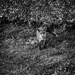 Goupil XXXV (armagilus75) Tags: erwitt fox polka renard blackandwhite