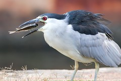 Head First (Rising Tide Images) Tags: bird nightheron feeding avianbehavior aukuu waterbird piscivore tilapia hawaiianbird hawaii nycticorax nycticoraxnycticoraxhoactli