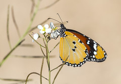 african monarch / mariposa tigre (jjulio2311) Tags: butterfy monarch spain colors flower orange black white coth coth5 ngc