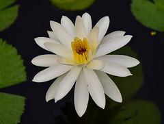 Water Lily (vguzman1120) Tags: waterlily flower ftbg nikon nikkor d5300
