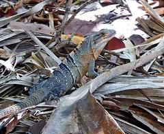 Smile For Me (Demmer S) Tags: creature animal reptile foliage close closeup macro squamate lacertilia reptiles squamata animals nature outdoors creatures outside gulfcoast