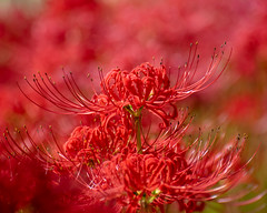 Lycoris radiata (shinichiro*) Tags: 20190928dsc5118 2019 crazyshin nikon1v3 v3 1nikkorvr70300mmf4556 september autumn yokohama japan jp flower macro candidate