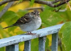 Bruant familier Laval 14-09-2019 (frankthewood63) Tags: 2019 laval québec oiseaux oiseau birds bird
