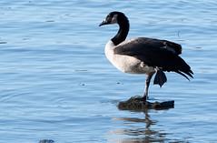 Bernaches du Canada Laval 13-09-2019 b (frankthewood63) Tags: 2019 laval québec oiseaux oiseau birds bird